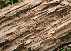 Termite-damaged wood showing rotting galleries outside of a Clarington home